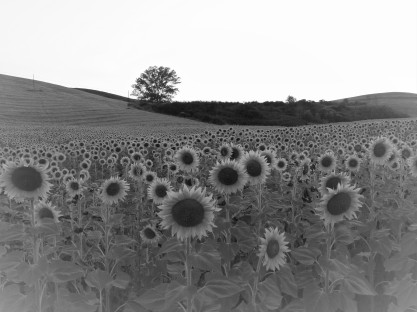 campo-girasoli-jpeg